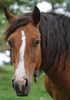 braunes Pferdeporträt auf der Wiese foto
