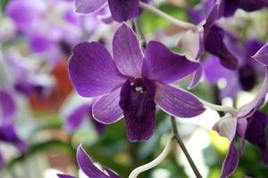 dunkelviolette Orchideen