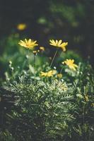 Blüten und Knospen von gelbem Gänseblümchen