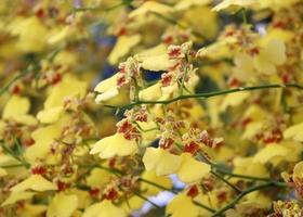 gelbe und rote Orchideenblüten