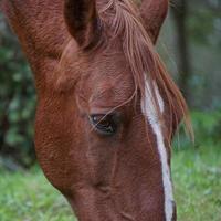 braunes Pferdeporträt auf einer Wiese foto
