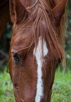 schönes braunes Pferdeporträt foto