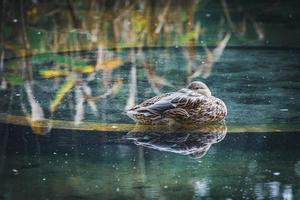 Stockente, die in einem Teich ruht foto