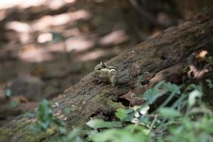 Eichhörnchen auf Baum foto