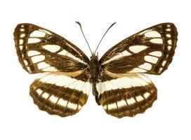 Pallas Segler Schmetterling foto