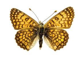 Skipper Schmetterling auf weißem Hintergrund foto