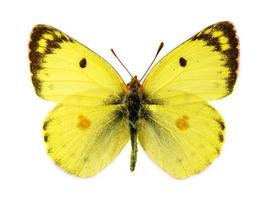 Berger trübten gelben Schmetterling foto
