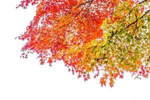 schöne rote Ahornblätter