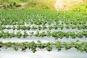 Reihen von Erdbeerpflanzen an einem sonnigen Tag foto