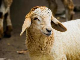 Nahaufnahme eines Schafes foto