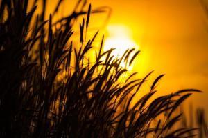 Gras gegen einen Sonnenuntergang silhouettiert