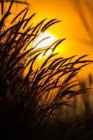 Silhouette des Grases mit einem orangefarbenen Sonnenuntergang