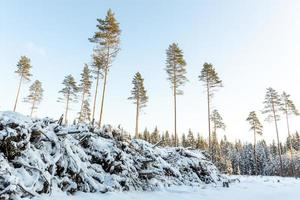 Wald im Januar in Lettland foto