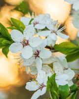 eine Nahaufnahme der Pflaumenbaumblüte in einem goldenen Sonnenuntergangslicht