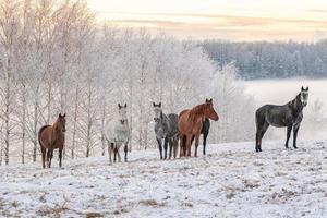 Pferde stehen in einem schneebedeckten Feld in Lettland foto