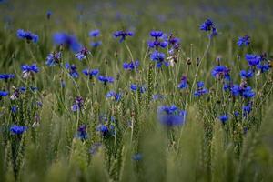 eine Nahaufnahme des grünen Feldes mit blühenden Kornblumen