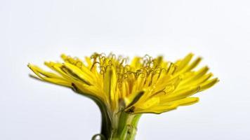 Nahaufnahme einer gelben Wildblume auf einem weißen Hintergrund foto
