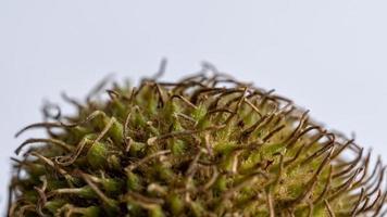 Nahaufnahme einer Londoner Platane Samenkugel foto