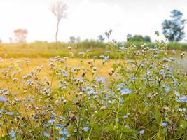 blaue Wildblumen in einem Feld mit weißem Himmel foto