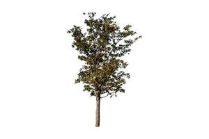 Baum lokalisiert auf weißem Hintergrund foto