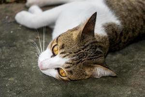 Katze liegt auf der Straße in Thailand