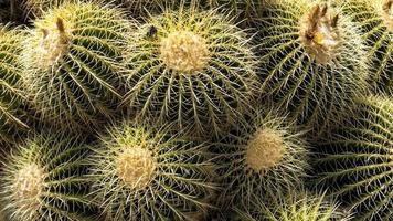 runde Kaktuspflanzen foto