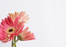 rosa Blume auf weißem Hintergrund