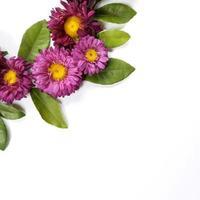 Asterblume auf weißem Hintergrund