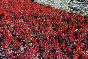 rote Pflanzen im Garten