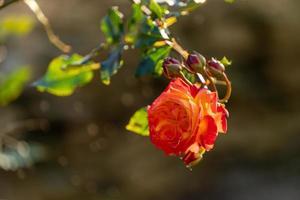 hintergrundbeleuchtete orange und rote Rose foto