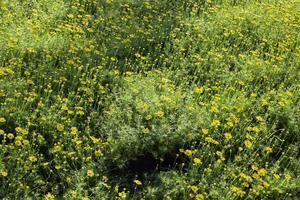 Feld der gelben Blumen