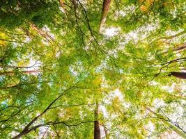 große Bäume im Wald, niedrige Winkelansicht foto