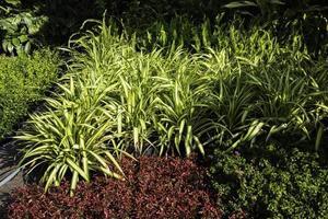 schöner Garten mit Spinnenpflanzen foto