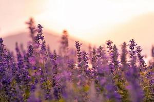 Lavendelfeld bei Sonnenuntergang foto