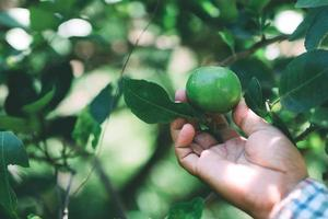 Der Gärtner holt Zitronenprodukte im Garten ab foto