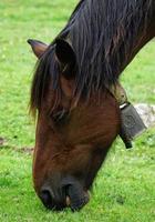ein braunes Pferdeporträt auf der Wiese
