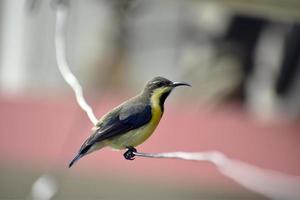 flacher Fokusschuss eines Kolibris, der auf einem Draht thront