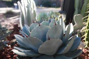 Agavenpflanze mit Kaktusgarten foto