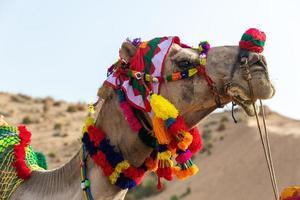 Kamel mit bunter Kopfbedeckung