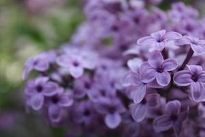 Makro Nahaufnahme von lila Blumen in voller Blüte