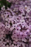 Makro Nahaufnahme von lila Blumen in voller Blüte foto