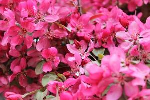 Makro Nahaufnahme von roten Blumen in voller Blüte auf einem Holzapfelbaum foto