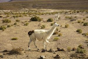 Lamas in der Dali-Wüste in Bolivien foto