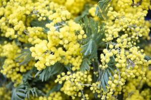 Mimose Frühlingsblumen Ast