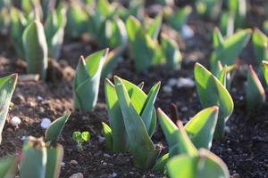 Makro Nahaufnahme von grünen Pflanzensprossen und Sämlingen im Boden
