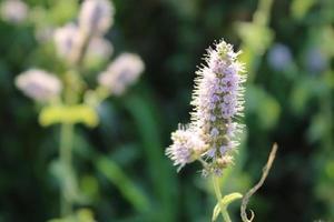 Lavendelpflanze im Frühjahr mit Makrodetails