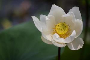 weiße Lilien zwischen grünen Blättern im See