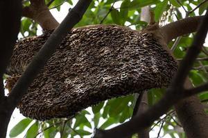 Honigbienenschwarm hängt im Baum foto