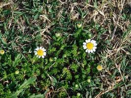 gelbe Blumen und Gebüsch in einem Garten foto