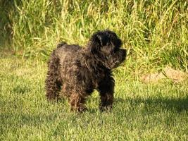 schwarzer Schnauzerhund, der im Gras steht
